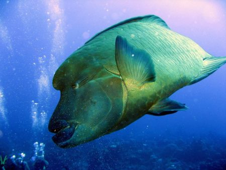 Large fish found scuba diving in Bora Bora